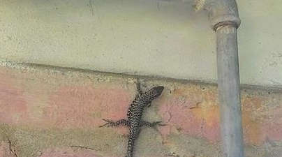Found this 3-tailed lizard in my grandma's yard