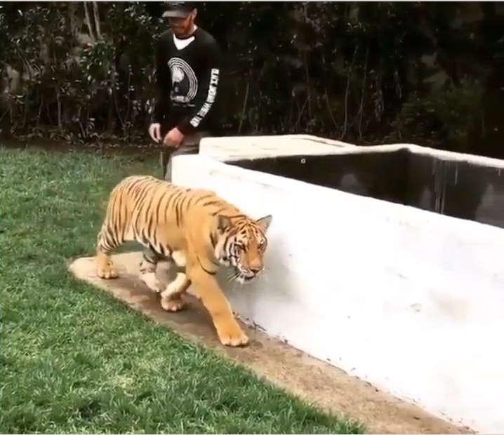 Human spooks Tiger!