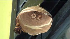 Giant Hornet Queen Nest Timelapse