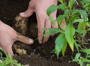 ジャガイモを掘る